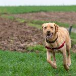 Labrador en pleine course