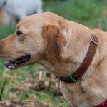 Labrador de profil