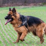 Berger Allemand poil long de profil