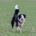 Border Collie plein d'entrain