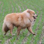 Spitz nain dans les champs