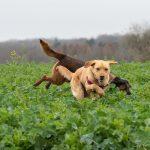 Labrador oreille dans les airs