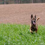 Malinois fier dans les hautes herbes