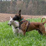 Malinois et Berger Blanc suisse regardant la même chose