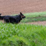 Berger dans les champs