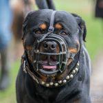 Rottweiler avec muselière