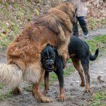 Soumission et dominance entre chiens