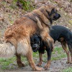 Leonberg et Rottweiler