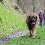 Leonberg sur les sentiers en promenade canine