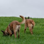 Malinois dans l'herbe