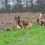 Groupe de chiens dans les champs
