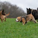 Beagle et berger de groenendael