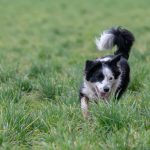 Border Collie dans les hautes herbes