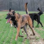 Malinois de Julie Willems