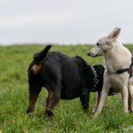 Rottweiler et berger blanc suisse se reniflant
