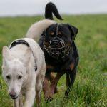 Rottweiler et berger blanc suisse
