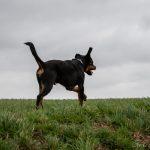 Rottweiler oreille en l'air