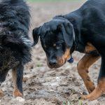 Analyse d'une betterave entre chiens