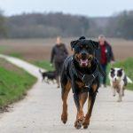 Rottweiler avec une fière allure