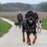Rottweiler sur deux pattes
