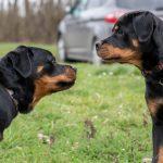 Rottweiler intrigué
