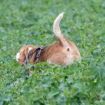 Beagle dépassant à peine du champs