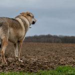 Chien loup regardant l'horizon