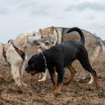 Chien-loup, rottweiler et labrador