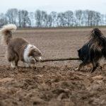 Jeux entre chiens