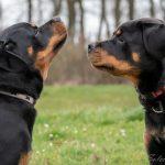 Rottweilers de profil