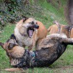Beagle blasé et chiens en jeu de dominance