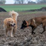 Golden retriever pleins de boue