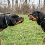 Rottweiler intriguée et méfiant