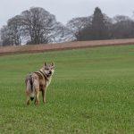 Chien-loup surveillant