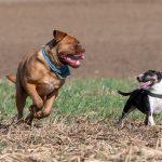 Dogue de Bordeaux et Bull Terrier complices