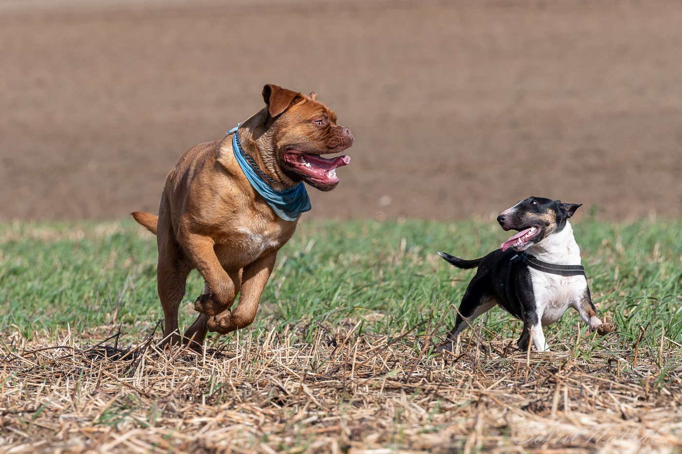 Dogue de Bordeaux et Bull Terrier complices