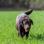 Labrador Chocolat dans la prairie