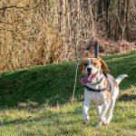 Beagle à la langue bien pendue