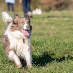 Border Collie en pleine course