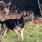 berger allemand de profil