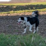 Border Collie de profil