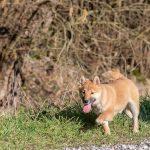 Akita en promenade avec animal behaviour center