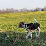 Beagle dans les champs