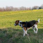 Beagle regardant au loin