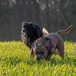 chiens courant à toute allure
