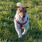 jack dans l'herbe en balade avec animal behaviour center