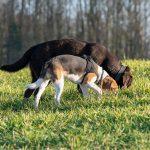 beagle et labrador chocolat reniflant ensemble