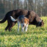 Beagle et labrador chocolat