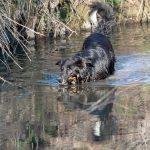berger australien- allemanddans l'eau