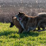 chiens courant ensemble